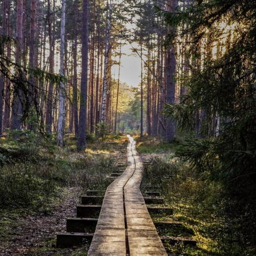 Pitkospuut menevät metsän läpi. Aurinko nousee taustalla.